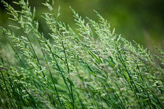 Gree Grasses Stock Photos