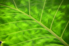 Gree leaf background Stock Photography