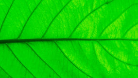 Gree leaf and stalk. Texture of gree leaf and stalk Stock Photos