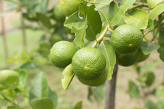 Gree lemon tree Stock Images