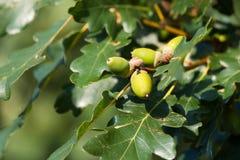 Gree oak acorn Stock Image