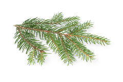 Gree spruce twig Stock Image