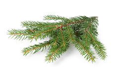 Gree spruce twig Stock Images