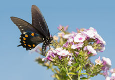Gree Swallowtail butterfly feeding on Phlox. Flowers against clear blue summer sky Stock Images