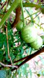 The gree tomato. Very much cultivated vegetable in india Royalty Free Stock Photo