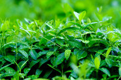 Green and fresh, raining. Great quality large size photo of grass, close up view, true natural juicy green colors, good composition. Image shows almost macro Royalty Free Stock Image
