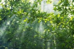Greean-Laub-Nebel Stockbild