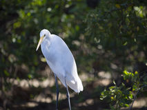Greeat Egret standing tall and fishing Stock Images