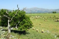 Greece, Crete, Lassithi tableland. Greece, Crete, flock of sheep on pasture Stock Images