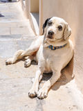 Greece dog Royalty Free Stock Images