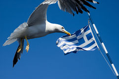 Greece flag with seagull. Photo of seagull with greece flag in background royalty free stock photos
