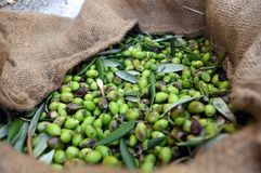 Greece: Freshly Picked Olives Stock Photography