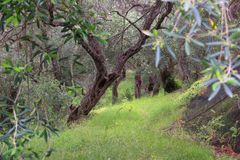 Greece olive cultivation Royalty Free Stock Photography