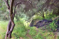 Greece olive grove Royalty Free Stock Photography