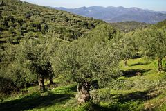 Greece, olive grove in mountainous Messinia. Olive grove in mountainous Messinia, Peloponnese region, Greece Royalty Free Stock Photo