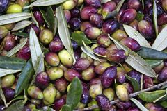 Olives collected in sacks in Messinia, Peloponnese, Greece. Greece, Peloponnese, Messinia, Kalamata, olive harvest, olives picked from the tree and collected Stock Photo