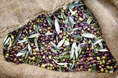 Olives harvested in Messinia, Greece. Greece, Peloponnese, Messinia, Kalamata, olive harvest, olives picked from the tree and collected into sacks Stock Photos