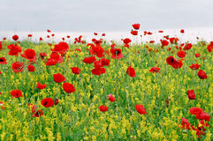 Greece, the poppies. Stock Image