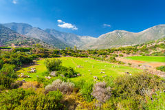 Greece rural landscape: a flock of sheep on the grasslands in valley and mountains. In the sunny summer day, island Crete, village Bali, Greece Royalty Free Stock Images