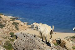 Greece, wild goat Royalty Free Stock Photography