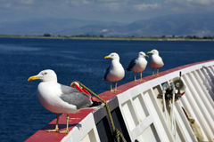 Greece, Zoology. Greece, herring gulls on board of ferry Stock Photography
