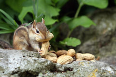 Greed. Chipmunk with a peanut in her mouth and trying to hold another in her little hands Stock Images