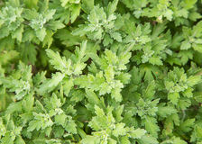 Greed bush floers in garden, texture,botany, Stock Photo