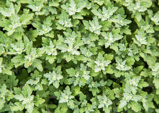 Greed bush floers in garden, texture,botany, Stock Photography