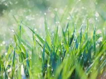 Greed grass in a dew stock image