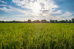 Greed rice field and sunlight with blue sky clouds Royalty Free Stock Photos