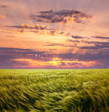 Greed Wheat Field and Beautiful Sunset Sky Royalty Free Stock Photo