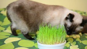 Greedy cat nibbling grass stock footage