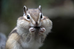 Greedy chipmunk. Chipmunk makes stocks for the winter Royalty Free Stock Images