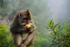 Greedy eating monkey royalty free stock image