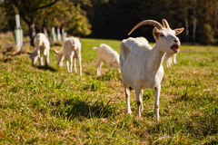 Greedy goats Stock Image