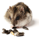 Greedy little hamster Royalty Free Stock Images