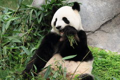 Greedy look of Chinese panda Stock Image