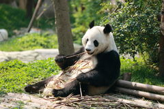 Greedy panda Royalty Free Stock Images