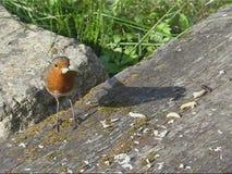 Greedy robin feeding Royalty Free Stock Photo