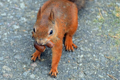 Greedy squirrel. Squirrel has two acorns in mouth Royalty Free Stock Photography