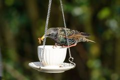 Starling swallowing a meal worm Royalty Free Stock Photography