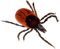 Greedy tick Stock Photo