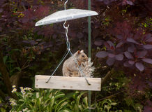A greedy Visitor On A feedr. Squirrel on bid feeder with bushy tail Royalty Free Stock Photo