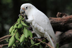 Greedy white parrot. In Guangzhou Royalty Free Stock Photos