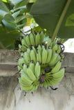 Greeen banana on a tree. Thailand Stock Photos