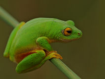 Greeen frog hanging on. Rare green tree frog spotted hanging onto a reed at the edge of a dam Stock Photos