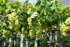 Greeen grapes Stock Photos
