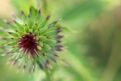 Greeen ipnotizza il fiore Fotografia Stock