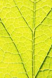 Greeen macro leaf. Sanny day  greeen macro leaf Stock Photos