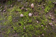 Greeen soil moss. Autumn soil moss clinging to the ground. Moist and humid climatic algae Stock Image